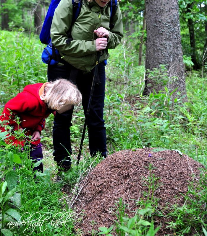Waldexperiment: Vergissmeinnicht im Ameisenhügel färben